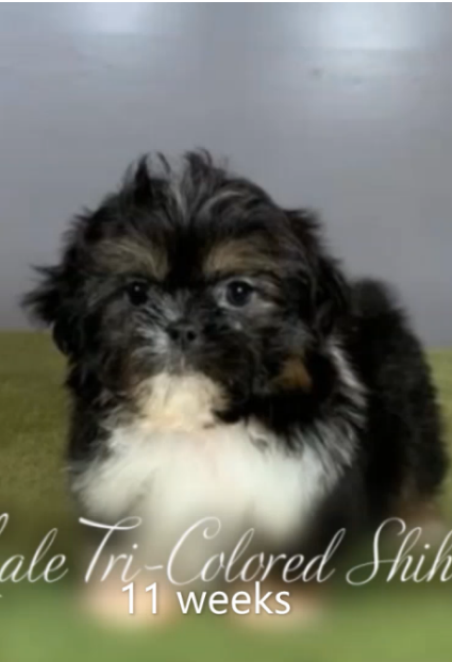 Female Shihtzu 9 weeks old
